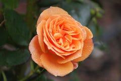 Rose colorée par abricot Photographie stock libre de droits