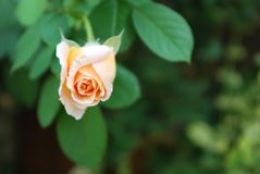 Rose And a color contrast royalty free stock photography