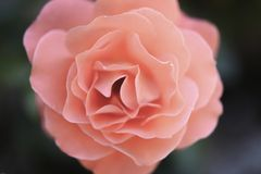 Rose color 16-1546 Living Coral royalty free stock photos