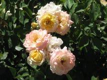 Rose colorate salmone immagini stock