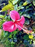 Rose coloreó el crecimiento de flor en casa Fotografía de archivo libre de regalías