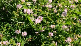 Rose colored crown vetch flowers blown by wind on a sunny day. Securigera varia. Beautiful rose colored crown vetch flowers blown by wind on a sunny day. The stock video footage