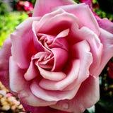Rose Colored Rose mit bokeh Hintergrund lizenzfreies stockbild