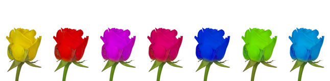 Rose colorful isolated Royalty Free Stock Image