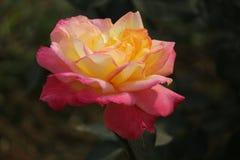 Rose colorida Imagen de archivo
