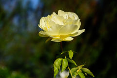Rose colorida en auge completo Imagen de archivo