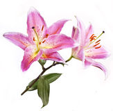 Pink-coloured lily Stock Images