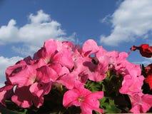 Rose-coloured Schönheit Lizenzfreies Stockbild