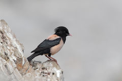 Rose-coloured starling, Sturnus roseus, single male. On rock, Bulgaria, May 2010 stock images