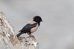 Rose-coloured starling, Sturnus roseus, single male Stock Images