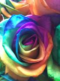Rose. A colourful rose royalty free stock image
