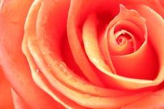 Rose comme fond Photo libre de droits