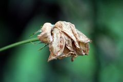 Rose with completely dried shrunken and brittle petals on dark green leaves background. Rose with completely dried shrunken and brittle petals on dark green royalty free stock images