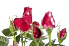 Rose con brillo fotografía de archivo libre de regalías