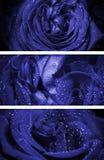 Rose con descensos del agua Imagen de archivo libre de regalías