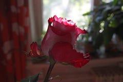 Rose con descensos del agua en el sol Imagen de archivo