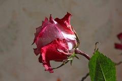 Rose con descensos del agua en el sol Foto de archivo