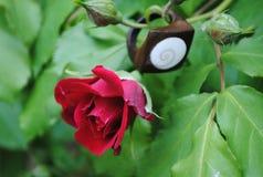 Rose con el anillo Imagen de archivo libre de regalías