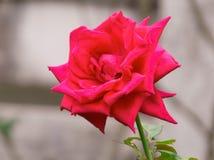 Rose con el fondo de la falta de definición Fotos de archivo libres de regalías