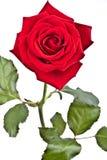 Rose con el vástago y las hojas Fotografía de archivo