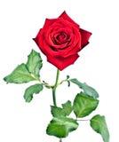 Rose con el vástago y las hojas Fotografía de archivo libre de regalías