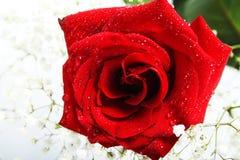 Rose con gotas Fotografía de archivo libre de regalías
