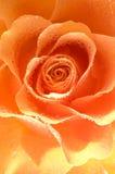 Rose con gotas del agua fotografía de archivo libre de regalías