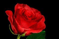 Rose con las gotitas foto de archivo