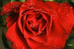 Rose con los dropps Fotografía de archivo