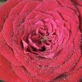 Rose con los waterdrops Foto de archivo libre de regalías