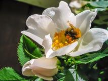 Rose con manosea la abeja Imágenes de archivo libres de regalías
