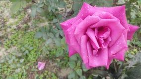 Rose con rocío imagen de archivo
