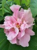 Rose confederada en la floración imagen de archivo