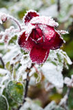 Rose congelée de rouge Images libres de droits