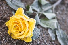 Rose congelada imagenes de archivo
