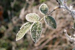 Rose congelada Imagen de archivo