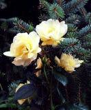 Rose in conifera Immagini Stock Libere da Diritti