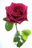 Rose contra el fondo blanco Fotografía de archivo