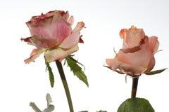 Rose contra el fondo blanco Foto de archivo libre de regalías