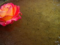 Rose in copper bowl. A rose floating in a copper bowl after a breif rain shower Royalty Free Stock Images