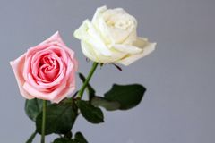 Rose Couple-diepe de liefdeachtergrond van het liefde witte roze parfum stock afbeeldingen