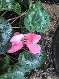 Rose couvert de rosée photographie stock libre de droits