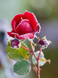 Rose covered with hoarfrost Royalty Free Stock Images