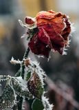 Rose covered with hoarfrost. After the first morning frost stock images