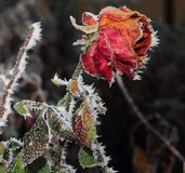 Rose covered with hoarfrost. After the first morning frost stock photos