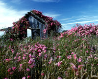 Rose covered shed. Wild roses cover an old shed Stock Image