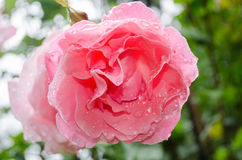 Rose covered with water drops Stock Images