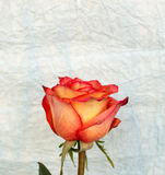 Rose on crampled paper. Red rose on crampled paper royalty free stock photography