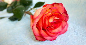 Rose on crampled paper. Red rose on blue crampled paper stock photos