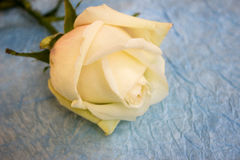 Rose on crampled paper. White rose on crampled paper stock image